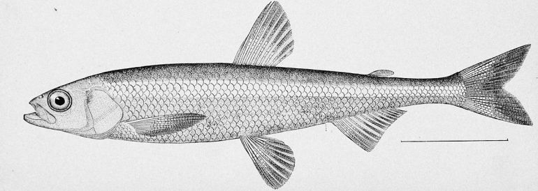 1200px-Pond_smelt_illustration